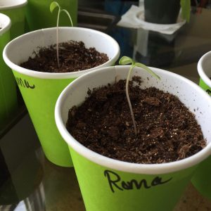 Roma tomato Seedlings