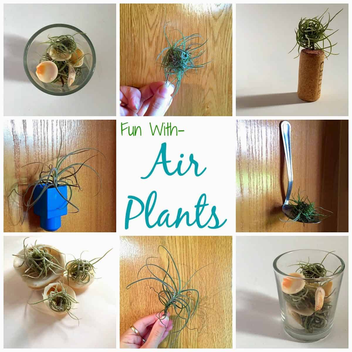 Fun With Air Plants