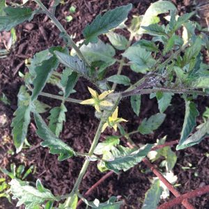 Roma Tomato Plant with Flowers