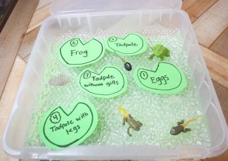 Life Cycle of a Frog for Kids Sensory Bin with Water Bead Frog Eggs